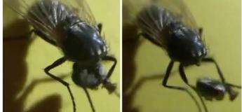 Beurk : Une mouche décapitée continue de bouger et de tenir sa tête entre ses pattes