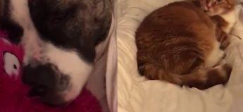 Ce chat est clairement super dérangé par le fort ronflement du chien endormi à côté de lui