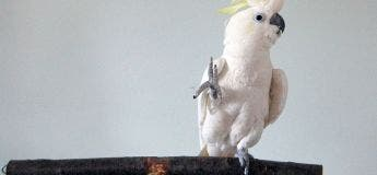 Snowball : un cacatoès aux têtes nues connaît 14 mouvements de danse différents et séduit les scientifiques