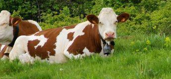 Une vache se promène dans une salle de classe en plein cours