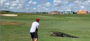 Le golfeur continue de jouer alors qu'un alligator se promène sur la pelouse