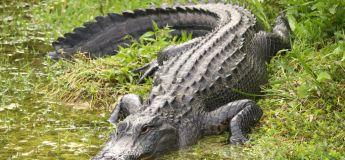 Une vidéo terrifiante montre un alligator en train d'escalader la clôture d'une base militaire