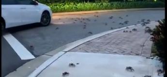Des crabes envahissent une rue en Floride