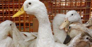 Un éleveur a dû installer un dispositif contre les mauvaises odeurs de ses canards