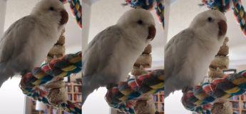 Ce perroquet est un meilleur chanteur que beaucoup d'autres