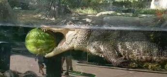 Un alligator nage tranquillement dans un réservoir avec une pastèque dans les mâchoires
