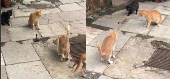 Quatre chats se battent contre un serpent dans cette vidéo