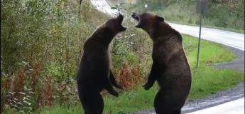 Une vidéo montrant deux ours se battant sur une route est devenue virale