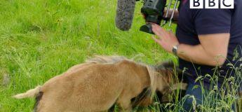 Un bélier en colère donne un coup de boule… dans les parties intimes d'un caméraman de la BBC