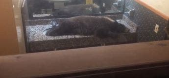 Un ours noir surpris en train de faire une sieste dans les toilettes des femmes