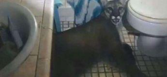 Un puma s'introduit dans une maison pour pourchasser un chat