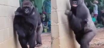 Saviez-vous que les gorilles ne sont pas du tout fans de la pluie, regardez leur réaction hilarante