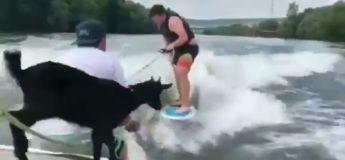 Une séance de wakeboard tourne mal pour cette chèvre !