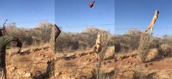 Vous allez être impressionnés par le réflexe de ce lynx