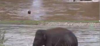Une vieille vidéo, sur un bébé éléphant sauvant un homme qui se noie, refait surface et touche les internautes