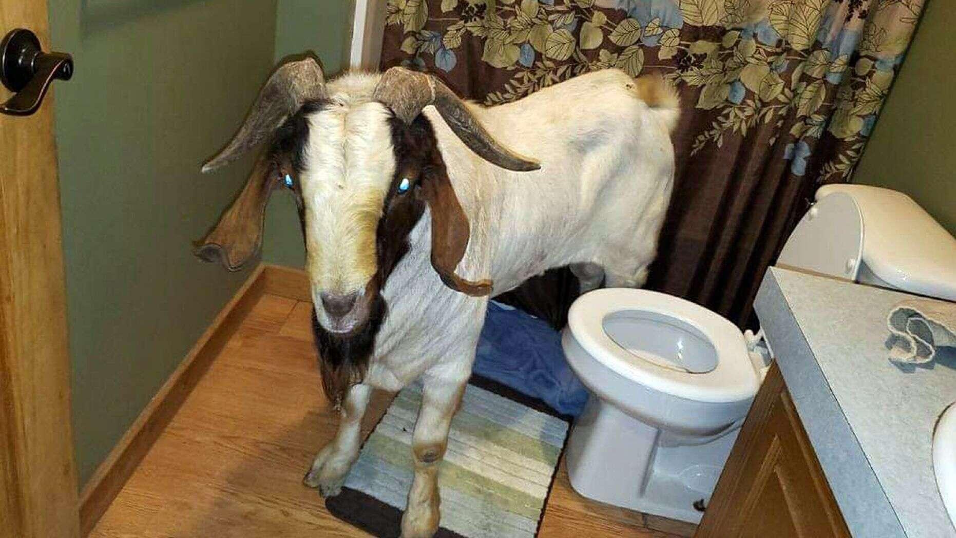 Un bouc entre par effraction dans une maison et s'endort dans la salle de bain
