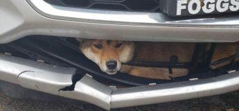 Renversée par une voiture, une chienne reste coincée pendant 45 mn dans le pare-chocs (vidéo)