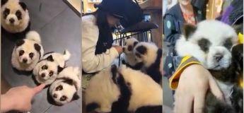 Le propriétaire du café chinois Panda peint les chiens pour qu'ils ressemblent à des Pandas