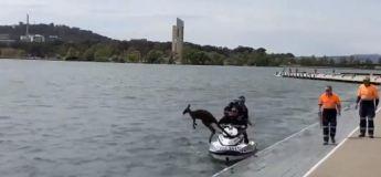 Des policiers sauvent un kangourou tombé à l'eau, qui replonge aussitôt une fois sur la terre ferme