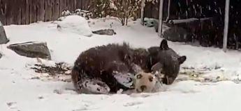 La vidéo d'un ours jouant au ballon dans la neige fait fondre les internautes