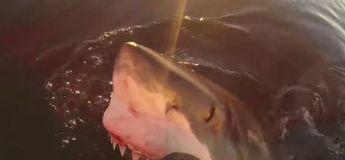 Vidéo : un grand requin blanc traque un bateau avant de surgir de l'eau pour l'attaquer