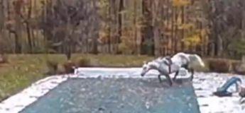 Un cheval s'évade et saute dans la piscine du voisin