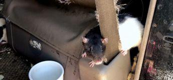 Une femme vivait dans une camionnette avec plus de 300 rats (VIDEO)