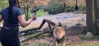 Une femme enjambe l'enclos d'un lion et se met à le provoquer