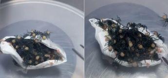 Un zoo australien passe à l'élevage d'araignées dangereuses