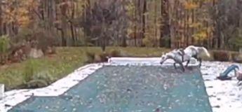 Un cheval en cavale est tombé dans la piscine du voisin