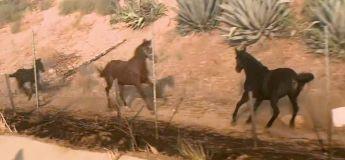 Incendie en Californie : une jument revient en arrière pour sauver les autres chevaux des flammes