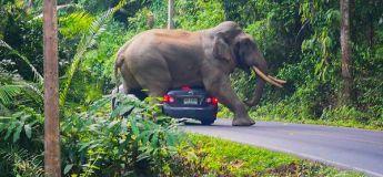 Un éléphant têtu veut à tout prix s'asseoir sur une voiture de touristes