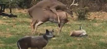 Un cerf en rut  monte une biche… mais la tête de celle-ci se détache soudainement