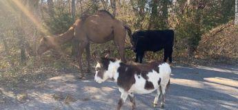 Un chameau, une vache et un âne retrouvés errant ensemble sur une route du Kansas