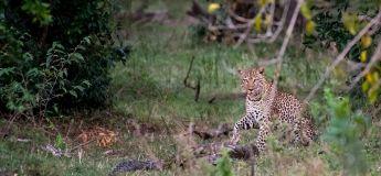 Un léopard et un python filmé dans un combat à mort glaçant