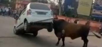 Un conducteur qui klaxonnait un taureau reçoit des coups de cornes