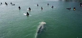Une baleine grise se faufile tranquillement entre un groupe de surfeurs sans qu'ils ne s'en rendent compte