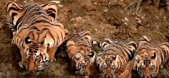 Une famille de tigres filmée en train de boire à l'abreuvoir dans la réserve de tigres de Pench