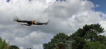 La vidéo d'un calao en vol ressemble affreusement à une scène de Jurassic Park