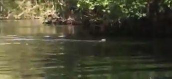 Floride : un kayakiste filme une vingtaine de singes sautant dans l'eau