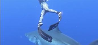 Un plongeur nage à côté du plus grand Requin Blanc au monde près d'Hawaï