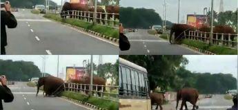 Un troupeau d'éléphants brise une clôture et traverse la route