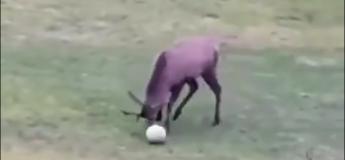Ce cerf joue mieux au ballon que tous les lyonnais réunis