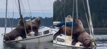 Deux énormes phoques décident de monter sur un bateau pour faire leur petite pause et ce dernier est en souffrance