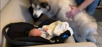 La réaction de ce malamute qui rencontre pour la première fois un nouveau-né de la famille, est trop mignonne
