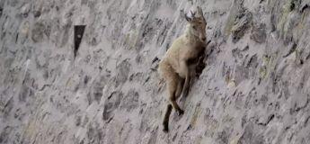 Les chèvres sont de vrais experts d'escalade, la preuve en vidéo