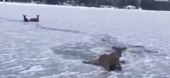 Un Canadien vient à la rescousse de trois cerfs coincés sur un lac gelé