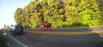 Pays de Galles : une route fermée pendant des heures à cause… d'une vache