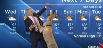 Ripple le chien qui veut jouer mais pas présenter la météo !