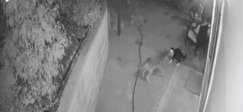 Vidéo : un chat se défend bravement contre trois coyotes affamés